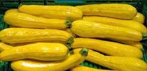 Golden_zucchinis